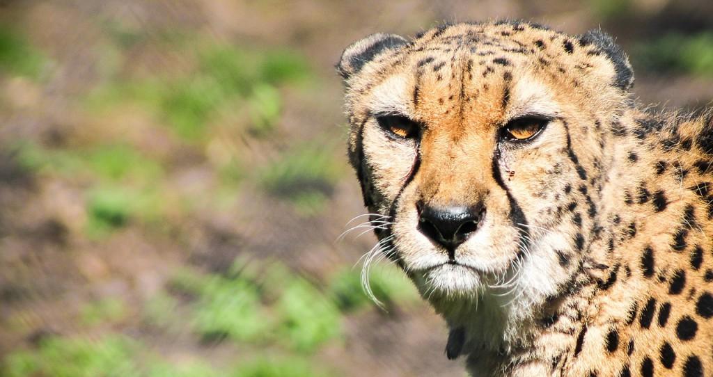 cheetah-700158_1280